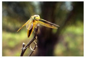 Dragonfly 9 by kiew1