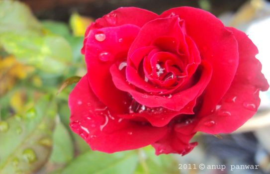 red-rose-by anu ppanwar by pnna