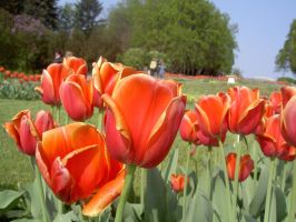 More tulips by Heltig