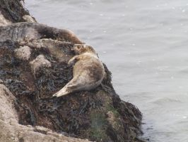Local wild seal colony, at Worms Head 11 by nonyeB
