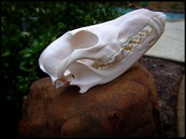 Coyote Skull 1 by Lupen202