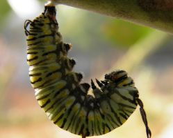 hanging Caterpillar by kumarvijay1708