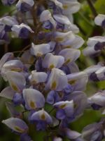Wisteria 11 by botanystock