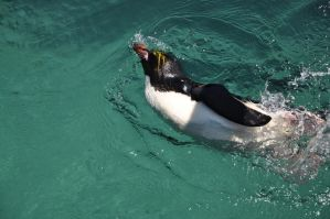 Swimming Penguin by lironk