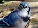 Friendly Blue Jay by Ciameth