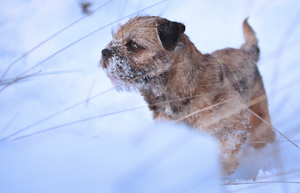 Arctic Border Terrier by Deavent