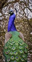 Peacock by Sonia-Rebelo