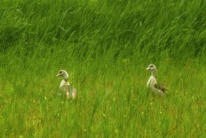 Egyptian geese in grasfield 2 by steppelandstock