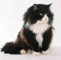 Long Haired Cat by Sach4christ