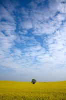 Fields of gold by thebodzio