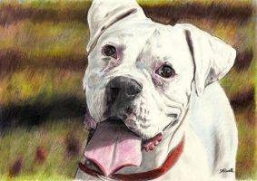 White Boxer. by SRussellart