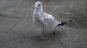 natures little wonder the baby seagull by analovecatdog