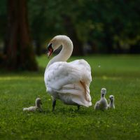 Swan family by luka567