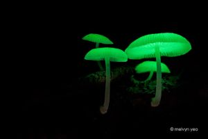 Bioluminescent Fungi 2 by melvynyeo
