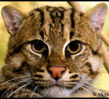 Fishing Cat_7138 by MASOCHO