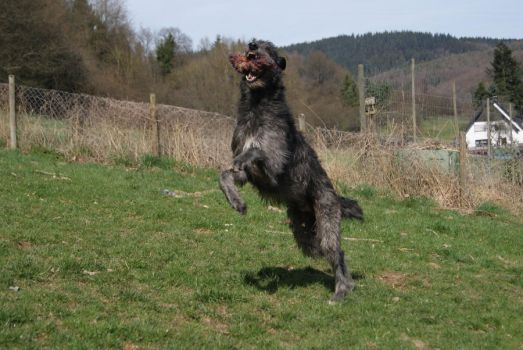 Deerhound playing by gaothaire