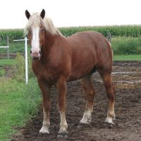 Equine Belgian Horse 15 by FantasyStock