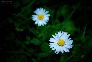 My Little Daisies by DevchonkaLucky