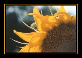 Sunflower Edge by RavenPhotography