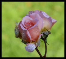 rose with dew by kram666