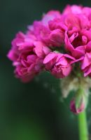 ...Pelargonium... by Egil21