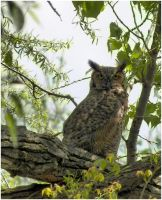 Great Horned Owl by SuicideBySafetyPin