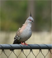 Crested  Pigeon. Ocyphaps lophote by Firey-Sunset