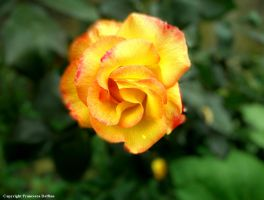 Romantic rose I by FrancescaDelfino