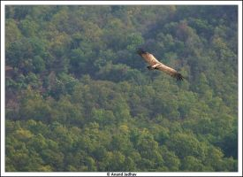 Bhandavgarh - Vulture by Knightmare-at-9