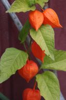 Physalis by Uskall