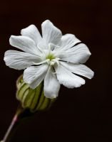 white campion by clochartist-photo