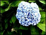 Hydrangea by tictacs30