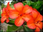 Orange Flowers by assimilated