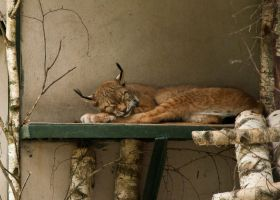 Sleeping lynx by Amrahelle