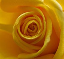 Closeup of yellow rose by a6-k