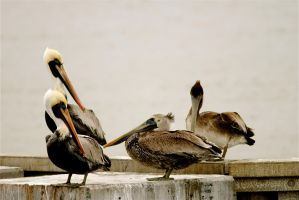 Brown Pelicans by KandBphotography22