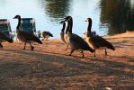 Geese by Newway12