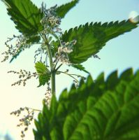 Stinging nettle by coqui74