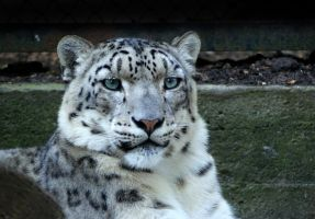 Grown Snow Leopard by Vertor