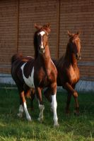 American Saddlebred Stock 19 by LuDa-Stock