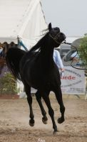 Arabian Horse stock VI by lovergil