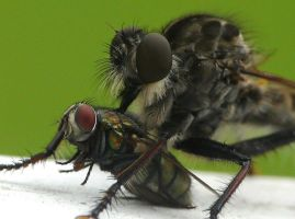 Robber fly eating a fly by duggiehoo
