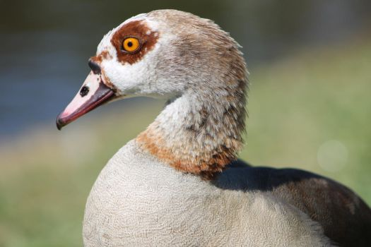 Egyptian Goose by Mysticpup