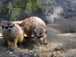 Meercats 13 by my-dog-corky