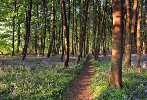 Bluebell Walk II by danUK86
