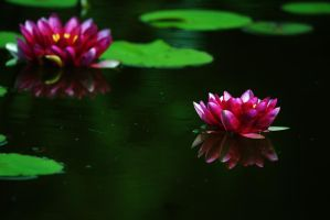Water lilies by PsychodelicMess