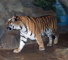 Denver Zoo 51 Tiger by Falln-Stock
