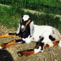 Baby Goat by SuperiLoveCartoons