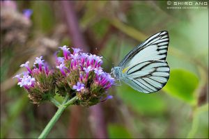 Striped Albatross Butterfly 01 by shiroang