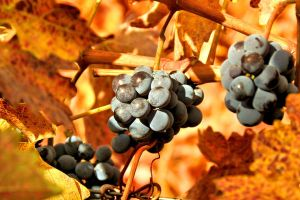 Autumn Grapes by tracy-Me